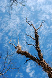 Barren tree and blue sky Royalty Free Stock Images