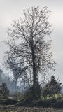 Barren tree in the fog Royalty Free Stock Photography
