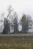 Barren tree in the fog Stock Photography