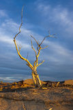 Barren tree in golden light. Stock Images