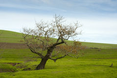 Barren tree in grass meadow Royalty Free Stock Images