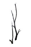 Barren tree on isolated background. Royalty Free Stock Photo