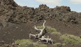 Craters of the Moon National Park. Barren tree limb in the mountains of Craters of the Moon National Park in Idaho Royalty Free Stock Image