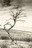 Barren tree with sheeps wool snagged toned Royalty Free Stock Image