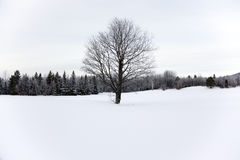 Barren tree in the snow Royalty Free Stock Images