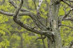 Barren Tree In Spring Royalty Free Stock Photos
