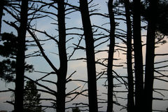 Barren trees. Silhouetted against the sky Royalty Free Stock Photography