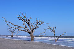 Barren Trees. Three trees on a beach, devoid of leaves, battered by sun, sand and sea Royalty Free Stock Photo