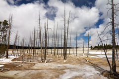 Barren Wasteland of Yellowstone Geyser Field. The skeletal remains of trees stand in the barren wasteland of a Yellowstone geyser field in Wyoming USA Royalty Free Stock Photo