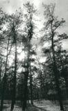 barrens πεύκο Στοκ εικόνα με δικαίωμα ελεύθερης χρήσης