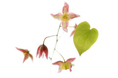 Barrenwort (Epimedium rubrum) flower Royalty Free Stock Images