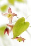 Barrenwort (Epimedium rubrum) flower Royalty Free Stock Photography
