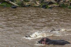 Barrera y hipopótamos de agua en la trayectoria de la gran migración de ungulates Masai Mara, Kenia foto de archivo libre de regalías