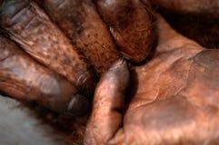 Barrette dell'orangutan. immagine stock