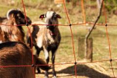 Barrière électrique pour l'élevage Berger frôlant pour des moutons et des chèvres Image libre de droits