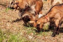 Barrière électrique pour l'élevage Berger frôlant pour des moutons et des chèvres Photographie stock libre de droits