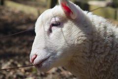 Barrière acérée de jeunes moutons, portrait blanc d'agneau d'isolement Photo libre de droits