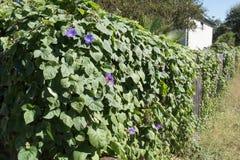Barrière couverte dans des vignes de gloire de matin photo libre de droits