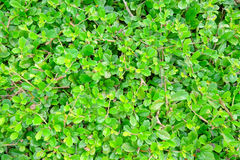 Barrière d'arbre de thé Images stock