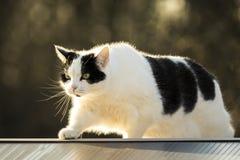 Barrière de marche de chat noir et blanc Images stock