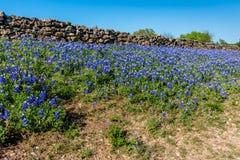 Barrière de roche avec Texas Bluebonnets photos stock