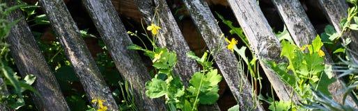 Barrière en bois avec les usines vertes de grimpeur Image libre de droits