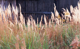 Barrière en bois vide foncée de fond envahie avec l'herbe grande dedans Image stock