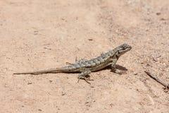 Barrière Lizard au parc de région sauvage de côte de Laguna Photos libres de droits
