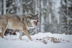 Barrido del lobo Fotos de archivo