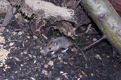 Barrido salvaje del ratón para la comida Foto de archivo libre de regalías