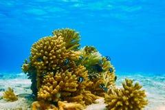 Barriera corallina alle Maldive Immagini Stock Libere da Diritti