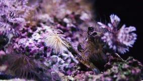 Barriera corallina Colourful con il cappuccio viola stock footage