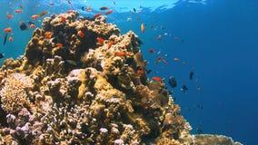 Barriera corallina con Anthias ed i Damselfishes Immagine Stock Libera da Diritti