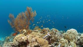 Barriera corallina con Anthias ed i Damselfishes Fotografia Stock Libera da Diritti