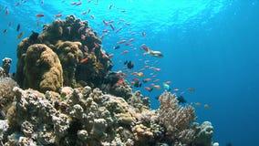 Barriera corallina con Anthias 4k Immagini Stock Libere da Diritti