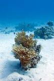 Barriera corallina con corallo duro e damselfish dalla coda bianca dei pesci esotici al fondo del mare tropicale Fotografia Stock