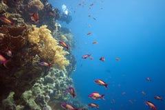 Barriera corallina con gli squamipinnis di Pseudanthias Fotografia Stock Libera da Diritti