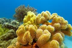 Barriera corallina con grande corallo molle giallo al fondo del Mar Rosso Immagini Stock