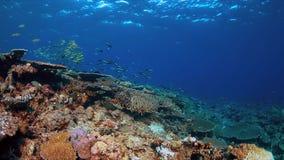 Barriera corallina con i coralli duri sani Fotografia Stock