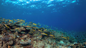 Barriera corallina con i coralli duri sani Fotografia Stock Libera da Diritti