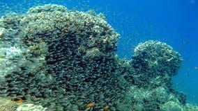 Barriera corallina con i pesci di vetro al Mar Rosso Fotografia Stock