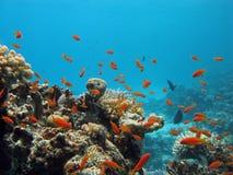 Barriera corallina con i pesci esotici Immagine Stock