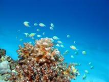 Barriera corallina con i pesci esotici al fondo del mare tropicale, und Immagini Stock