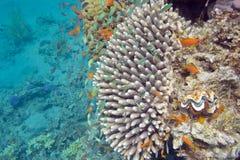 Barriera corallina con i pesci esotici Anthias e i chromis verdi, underw Fotografie Stock Libere da Diritti
