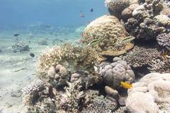 Barriera corallina con i pesci esotici in mare tropicale, subacqueo Fotografie Stock Libere da Diritti