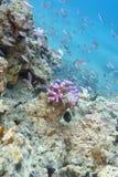 Barriera corallina con i pesci esotici in mare tropicale, subacqueo Fotografia Stock