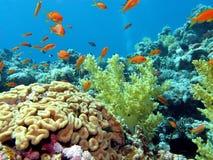 Barriera corallina con il cervello e coralli molli sul botto Fotografie Stock Libere da Diritti
