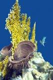 Barriera corallina con il corallo del fuoco e la spugna del mare - subacquei Fotografia Stock