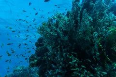 Barriera corallina con il corallo del fuoco e pesci esotici al fondo del mare tropicale variopinto subacqueo Fotografie Stock Libere da Diritti