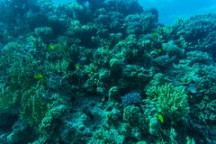Barriera corallina con il corallo del fuoco e pesci esotici al fondo del mare tropicale variopinto subacqueo Fotografia Stock Libera da Diritti